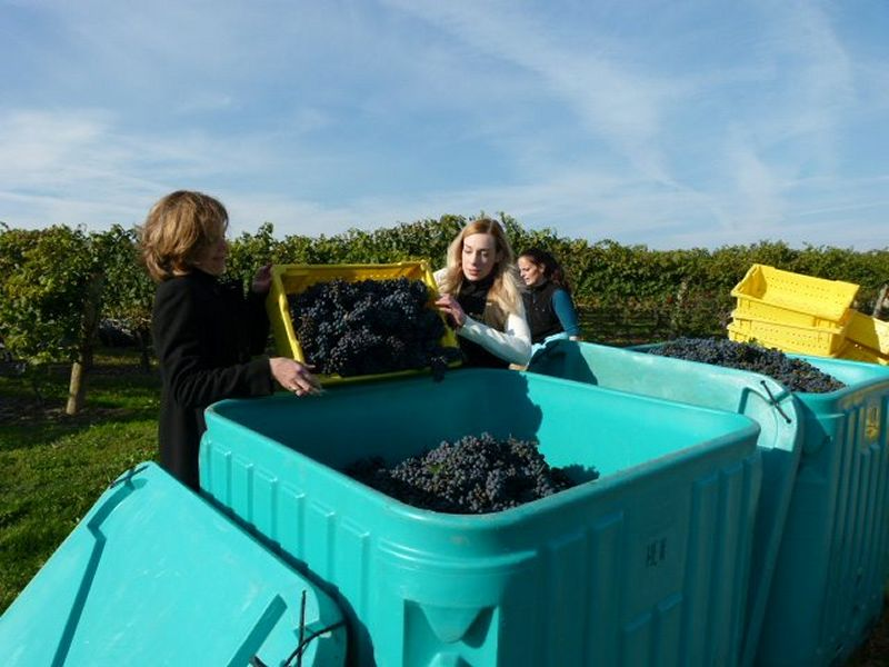 Peller Estates Harvest